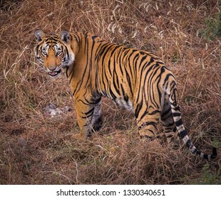 Beautiful bengel tiger in the wilds of India