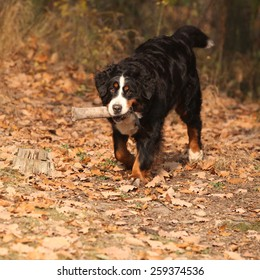 Beautiful bernese mountain dog running in autumn forest