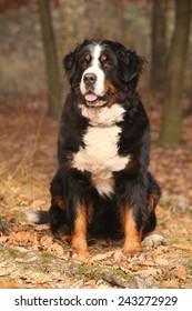 Beautiful bernese mountain dog sitting in autumn forest alone
