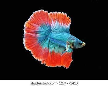 The beautiful betta on isolated black background. Siamese fighting fish (Betta splendens) is a popular fish in the aquarium trade. Bettas are a member of the gourami family.