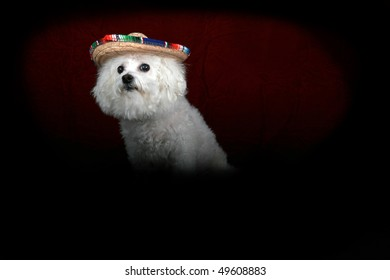 a beautiful Bichon Frise celebrates Cinco de Mayo in a portrait that looks like the old masters paintings from the mid century