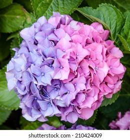Beautiful bicolor half pink and half purple mophead hydrangea (Hydrangea macrophylla) cultivar flower head resulting from neutral pH soil