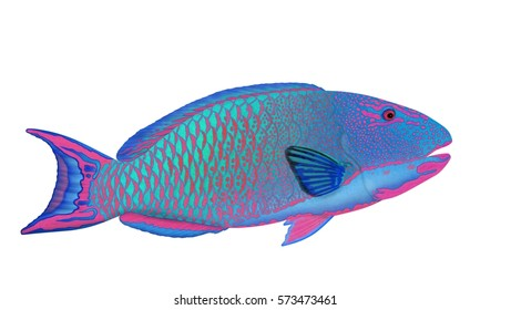 A beautiful Bicolour parrotfish (Cetoscarus bicolor) illustrated by Steven Russell Smith and isolated on a white background.