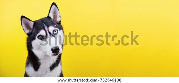 Beautiful bi-eyed dog of Siberian husky breed on yellow background, curious expression of muzzle, long format banner