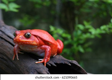 Beautiful big adult female frog with red skin like a tomato climb up dry brown wood on green natural background. Tomato frog is a native animal and endanger species in Madagascar's rainforest.