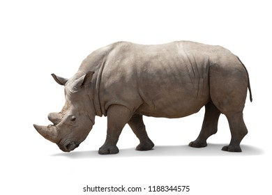 beautiful big adult rhinoceros poses, rare animal