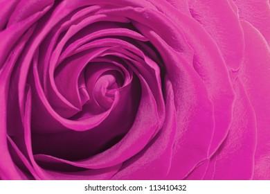 beautiful big bright pink rose close up