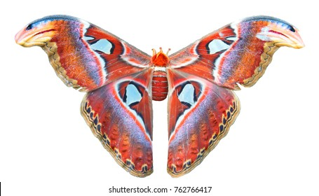 Beautiful big butterfly, Giant Atlas Moth, Attacus atlas, insect in green nature habitat, Asia.