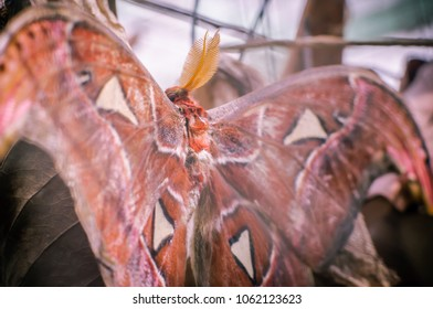 Atlas Moth Images Stock Photos Vectors Shutterstock