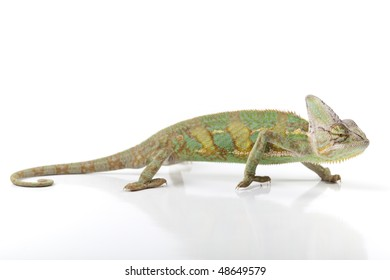 Beautiful big chameleon sitting on a background