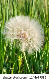 Beautiful big dandelion on green grass background