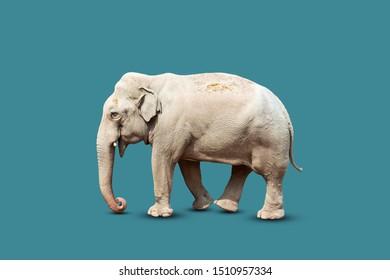 Beautiful big elephant isolated on a blue background. Nature. Wild animals.