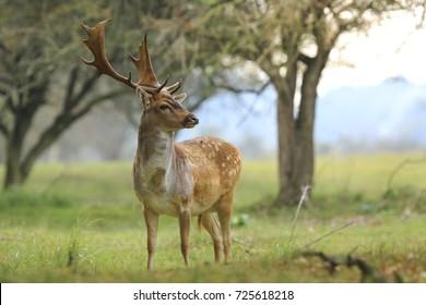 Beautiful big Fallow deer stag, Dama Dama, with large antlers walking proudly in a green meadow during rutting season.