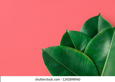 Beautiful big fleshy fresh green potted Ficus Elastica leaves on orangy pink painted wall background. Room Plant Interior Decoration. Hipster Funky Style. Vacation Fun Fashion. Copy Space
