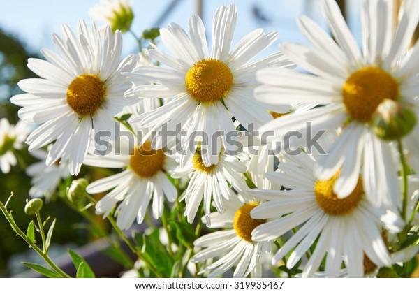Beautiful big flowers of decorative chamomiles growing