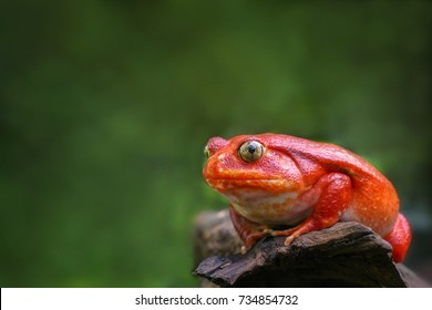 Beautiful big frog with red skin like a tomato clutching on brown dry wood, female Tomato frog from Madagascar in blurred green natural background, Selective focus and copy space