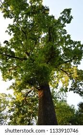 Beautiful big green oak tree in summer.