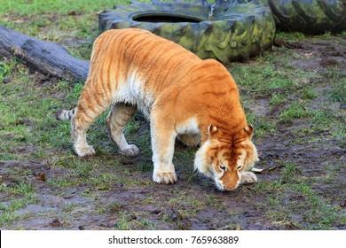 Beautiful big liger, a hybrid cross between a male lion (Panthera leo) and a female tiger (Panthera tigris)