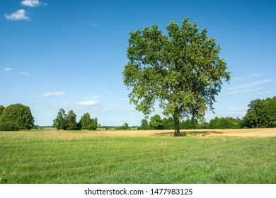 Beautiful big oak in the meadow on sunny summer day