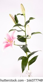 beautiful big pink lily flower on green branch with leaves isolated on white, background