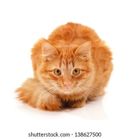 Beautiful big red cat lying and posing at studio looking at camera, white background