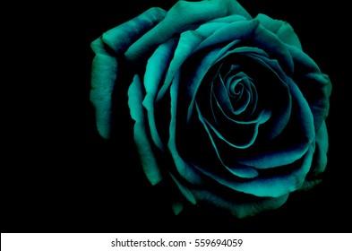 A beautiful big rose in dark blue tone and black background