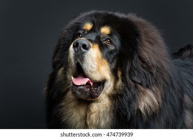 Beautiful big Tibetan mastiff dog