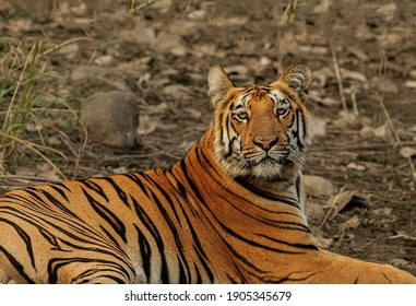 A beautiful big tiger with a serious look lies on an earthen surface covered with leaves and stones