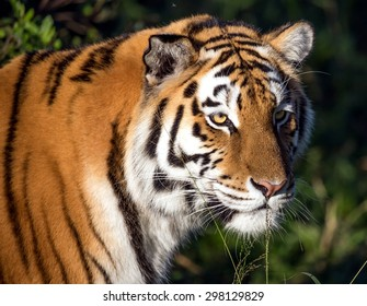 Beautiful big  tiger wild cat with striped fur and long whiskers