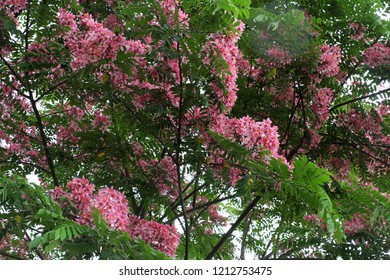 Beautiful big tree with pink flower, vermilion flamboyant tree bloom in vibrant color on day