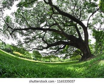 Beautiful big tree in the public park. (fish eye lens)
