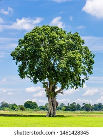 beautiful big tree, a summer landscape in sunny warm weather