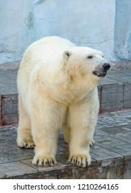Beautiful big white bear walks in an aviary at the zoo