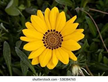 Beautiful big yellow gerber flower