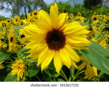 Beautiful Big Yellow Sunflower