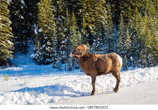 beautiful-bighorn-sheep-walking-on-600w-