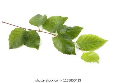 Beautiful birch branch