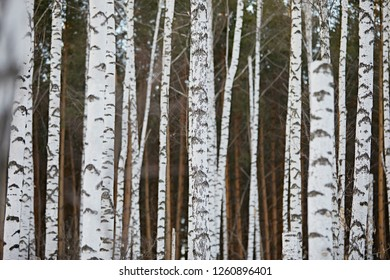 Beautiful birch forest close up. Natural background and abstraction in black and white