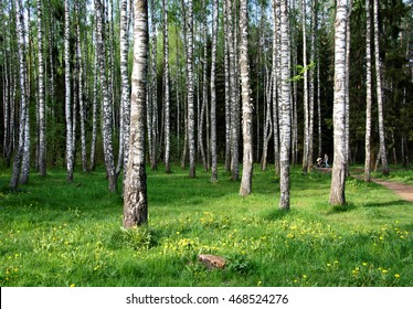 Beautiful birch grove. Amazing countryside landscape. Nice relaxation area under the shade of trees. Green beauty. Wonderful forest in Russia. Summer outdoor. Green area in a city for your relax