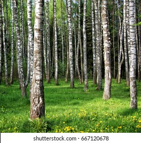 Beautiful birch grove. Amazing countryside landscape. Nice relaxation area under the shade of trees. Green beauty. Wonderful forest in Russia. Summer outdoor. Green area in the city for your relax