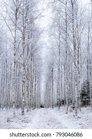 Beautiful Birch grove with covered frosty branches