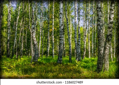 Beautiful birch grove on a Sunny summer day.