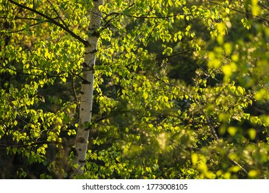 Beautiful birch in the sunlit forest, golden hour