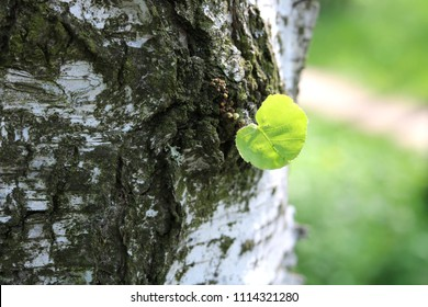 Beautiful birch tree with white birch bark in birch grove with green birch leaf in early summer