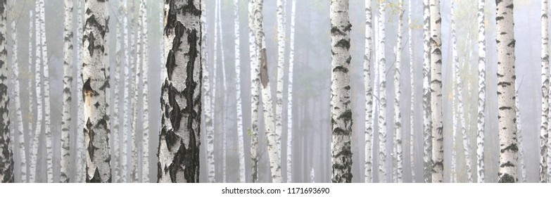 Beautiful birch trees with white birch bark in birch grove