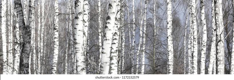 Beautiful birch trees with white birch bark in birch grove among other birches with white birch bark