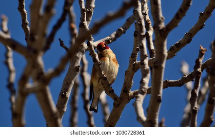 Beautiful bird amidst branches of fig tree and blue sky background, european goldfinch