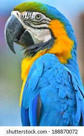 A beautiful bird Blue and Gold Macaw closeup