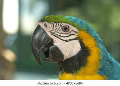 Beautiful bird Blue and Gold Macaw