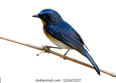 Beautiful bird with bright yellow breast white belly and long tail perching on dried bamboo stick isolated on white background, Tickell's blue flycatcher (Cyornis tickelliae)